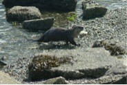 What? A Sea Otter in inside waters?!