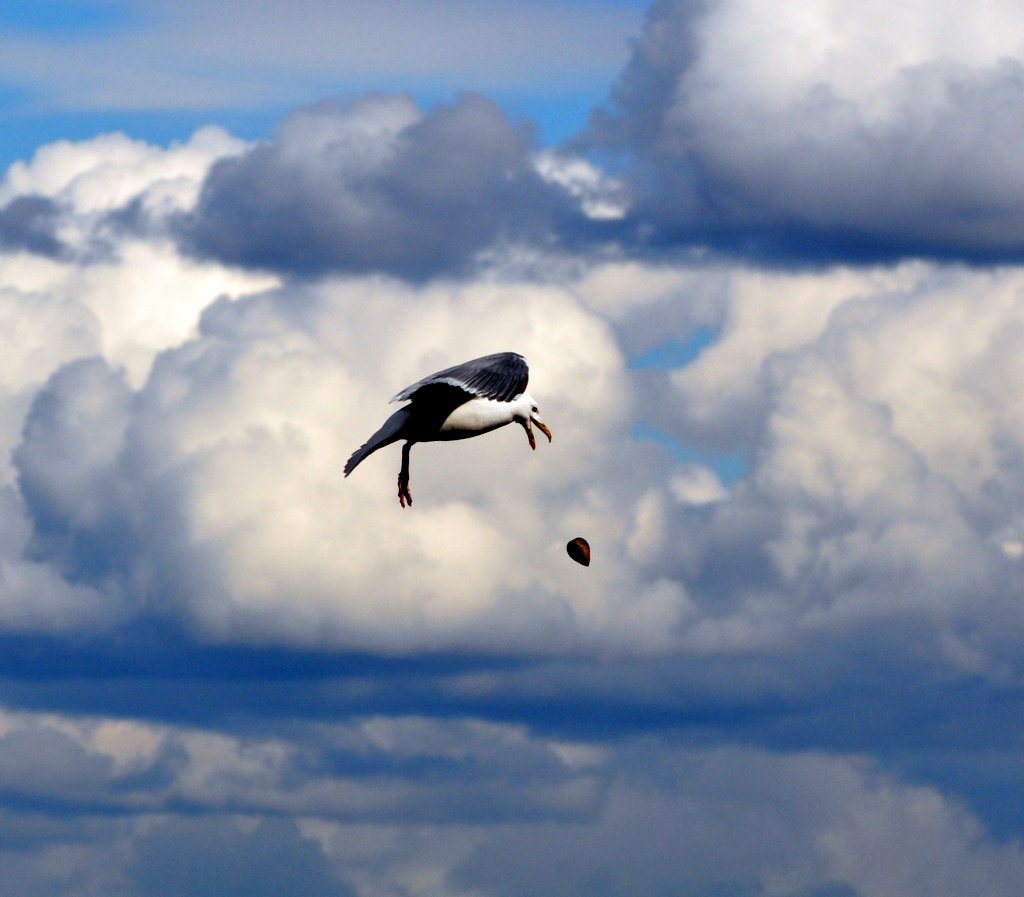 gull dropping shell by julie hall